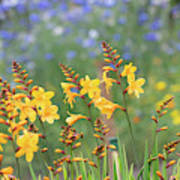 Crocosmia Buttercup Flowers Art Print