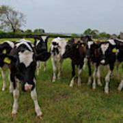 Curious Cows Art Print