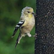 Cute Goldfinch At Feeder Art Print