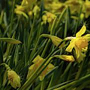Daffodil Starlight Art Print