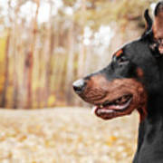 Doberman Pinscher On The Background Of Art Print