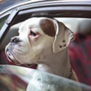 Dog In A Car Art Print
