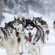 Dog-sledding With Huskies Art Print