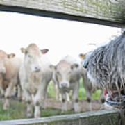 Dog Watching Cows Through Fence Art Print