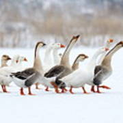 Domestic Geese Outdoor In Winter Art Print