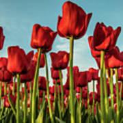 Dutch Red Tulip Field. Art Print