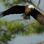 Eagle Flight 1 Art Print