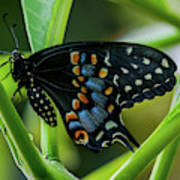 Eastern Black Swallowtail - Closed Wings Art Print