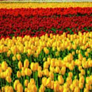 Endless Tulip Fields Art Print