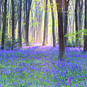 English Bluebell Wood At Dawn Art Print