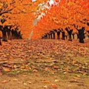 Fall Cherry Trees Art Print