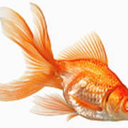 Fancy Goldfish Art Print