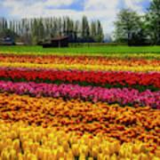 Farming Tulips Art Print