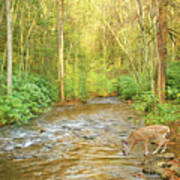 Fawn Drinking From Stream Art Print