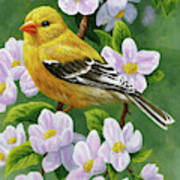 Female American Goldfinch And Apple Blossoms Art Print