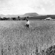Field Of Wheat Campbell S Plains  Darling Downs Art Print