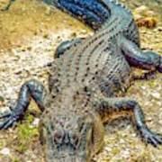 Florida Gator 2 Art Print