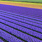 Flower Fields In Spring In Holland Art Print