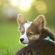 Fluffy Corgi Puppy Looks Back Art Print