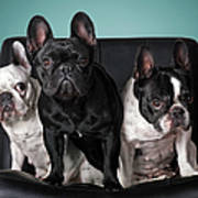 French Bulldogs Art Print