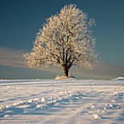 Frosty Oak Tree Art Print