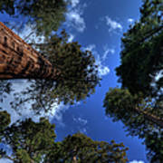Giant Sequoias - 2 Art Print