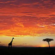Giraffe And Acacia Tree At Sunset Art Print