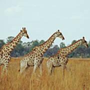Giraffe Herd, Botswana Art Print