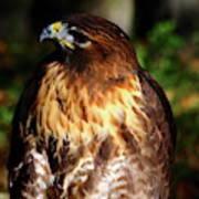 Golden Eagle Portrait Art Print