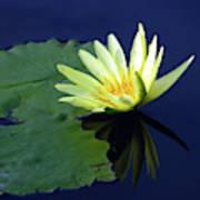 Golden Lily Art Print