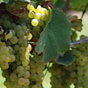 Green Grapes On The Vine 10 Art Print