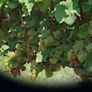 Green Grapes On The Vine 16 Art Print