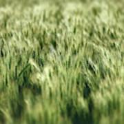 Green Growing Wheat Art Print