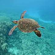 Green Sea Turtle, Big Island, Hawaii Art Print