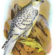Greenland Falcon Engraving 1896 Art Print