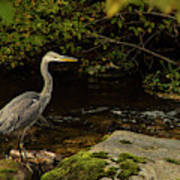 Grey Heron Fishing Art Print