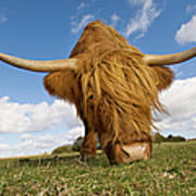 Hairy, Horned, Highland Cow Grazing Art Print