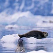 Harbor Seal Phoca Vitulina In Glacial Art Print