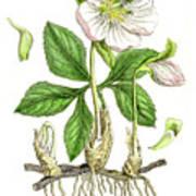 Hellebore Botanical Engraving 1857 Art Print