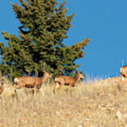 Herd Of Colorado Deer Art Print