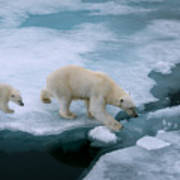 High Angle Of Mother Polar Bear And Cub Art Print