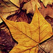 High Resolution Dry Maple Leaf On Art Print