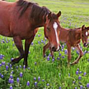 Horse On Bluebonnet Trail Art Print