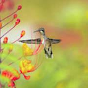 Hummingbird And Pride Of Barbados  Art Print