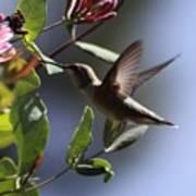 hummingbird at the Honeysuckle 255 Art Print