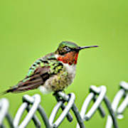 Hummingbird On A Fence Art Print