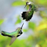 Hummingbirds Ensuing Battle Art Print