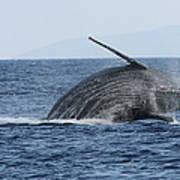 Humpback Whale Breach 2 Of 3 Art Print