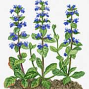Illustration Of Ajuga Reptans Blue Art Print