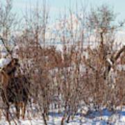 In Ninilchik A Moose Grazes In The Village In Late Winter Art Print